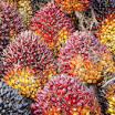 Replanting Tanaman Sawit Sumbar